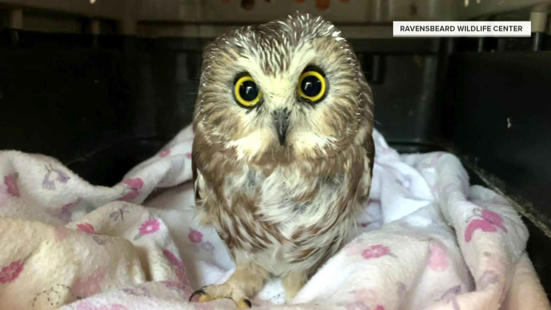 Watch TODAY Highlight: Rockefeller Center Christmas tree owl is released back into the wild ...